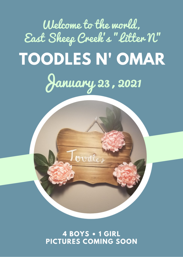 "Birth announcement: Welcome to the World, East Sheep Creek's ""Litter N."" Toodles and Omar. Born January 23, 2021. 4 boys, 3 girls. Pictures coming soon"